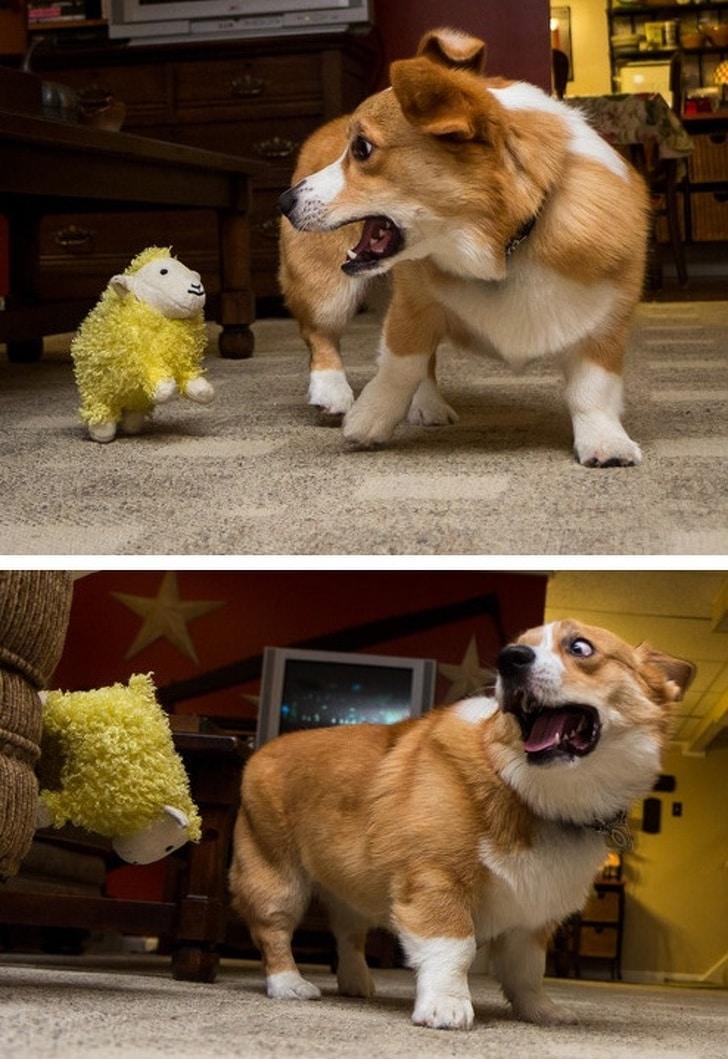 корги и игрушечная овечка