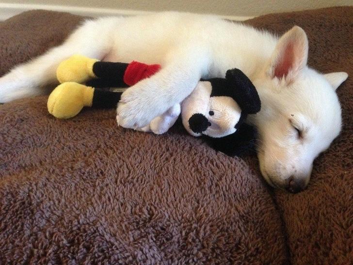 щенок спит в обнимку с микки маусом