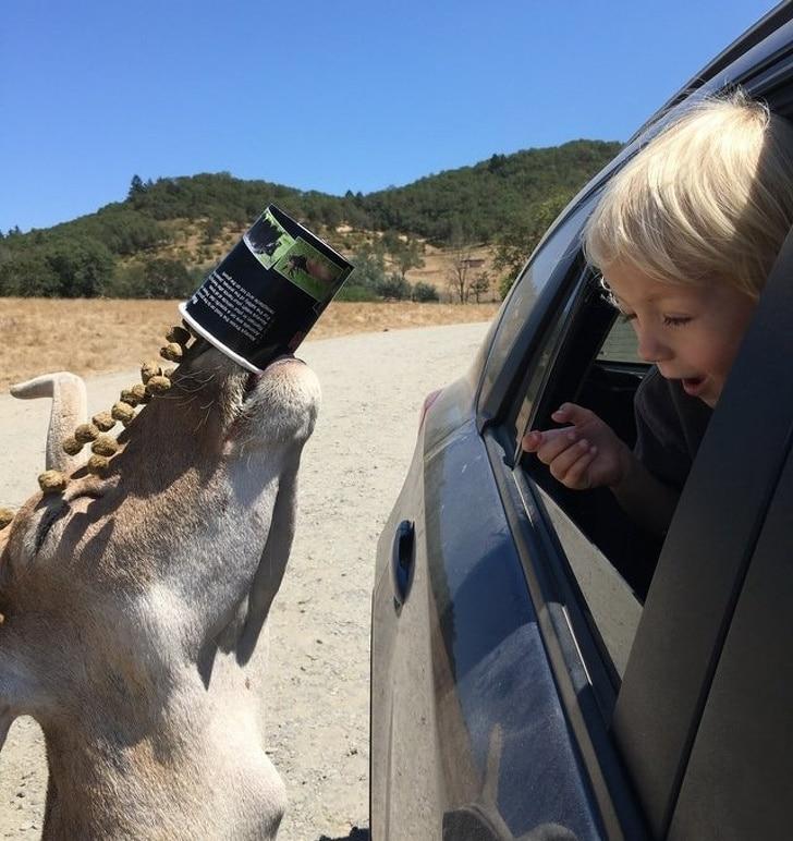 мальчик кормит оленя из окна машины