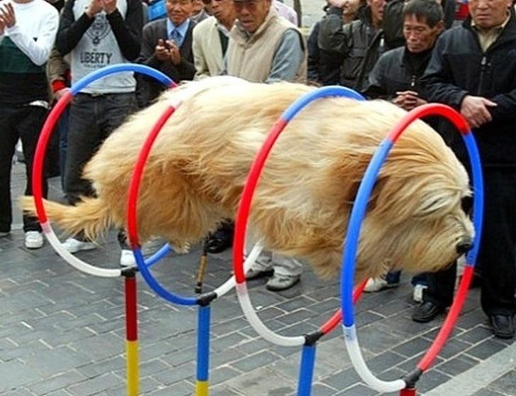 собака прыгает сквозь кольца