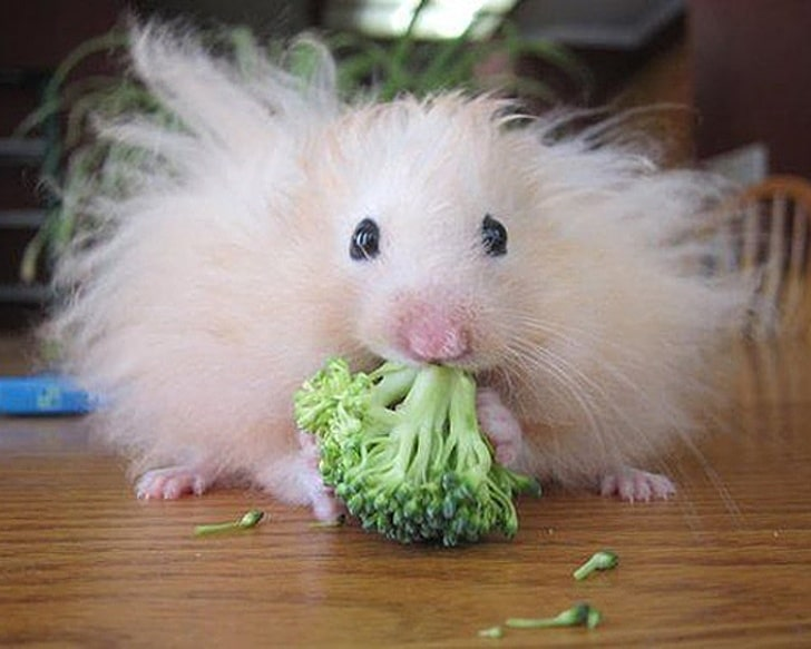 хомяк ест брокколи