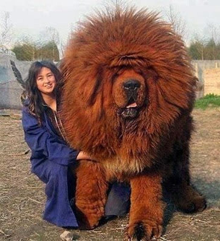 огромная собака и женщина