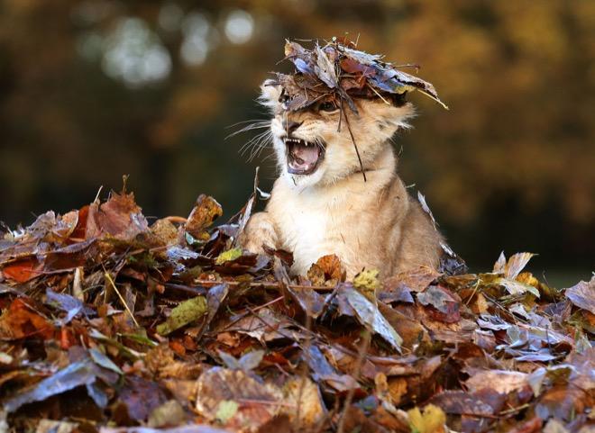 львенок в листьях