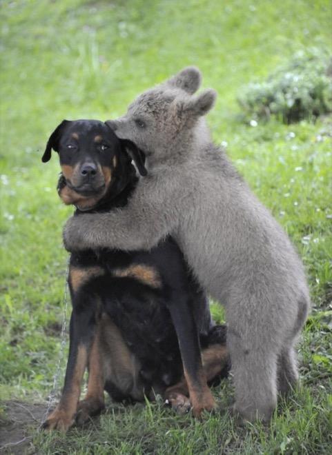 медвежонок грызет ухо собаке