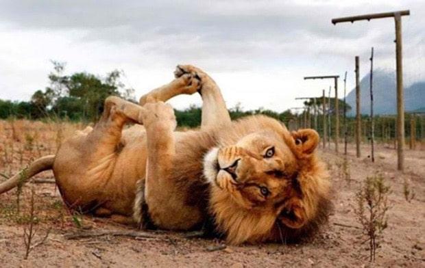 лев лежит на спине лапами вверх