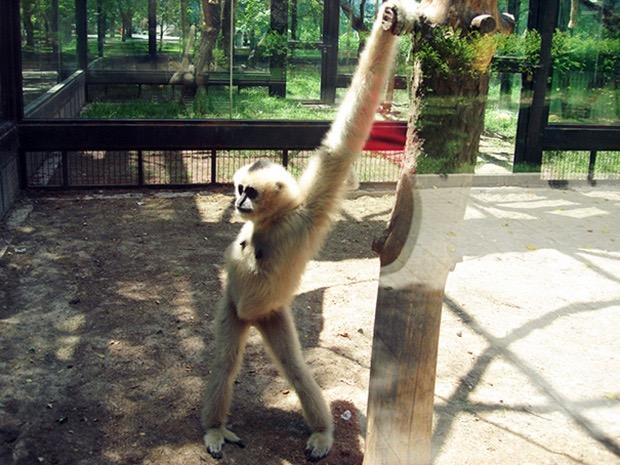обезьяна в вольере