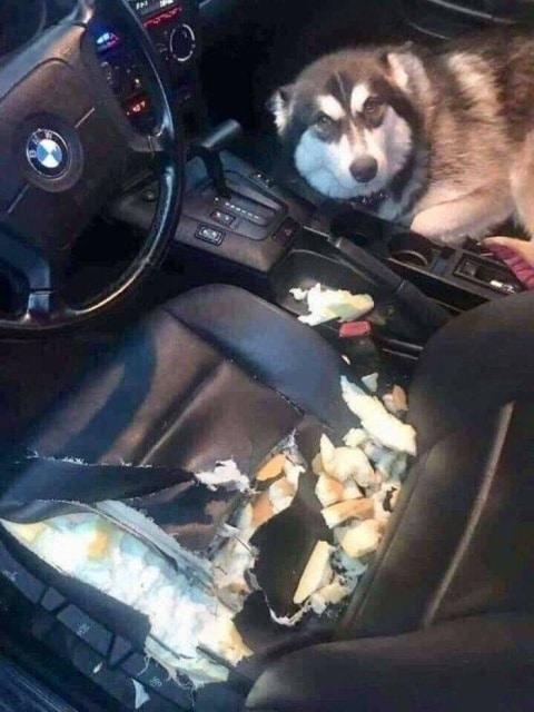 пес покусал сидение в машине