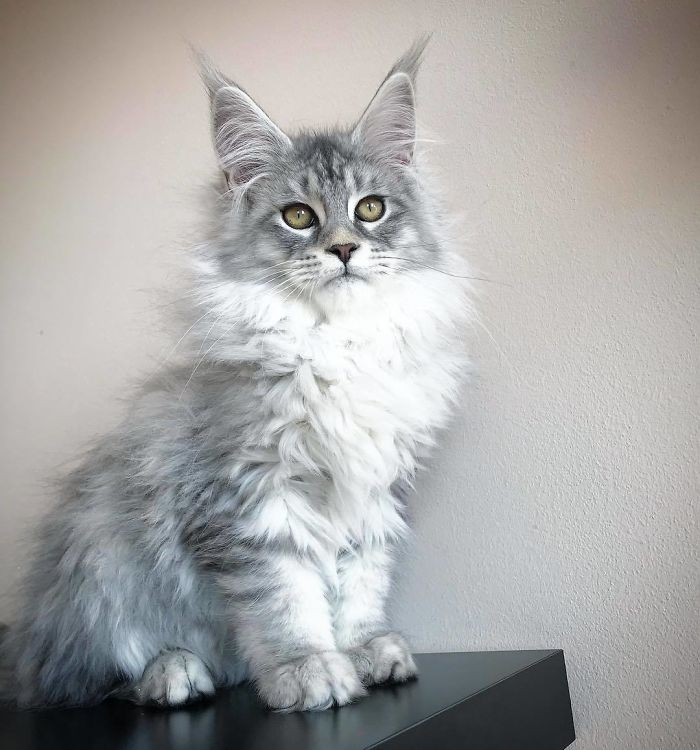 пушистый серый котенок мейн-куна