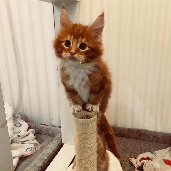 рыжий котенок сидит на когтеточке