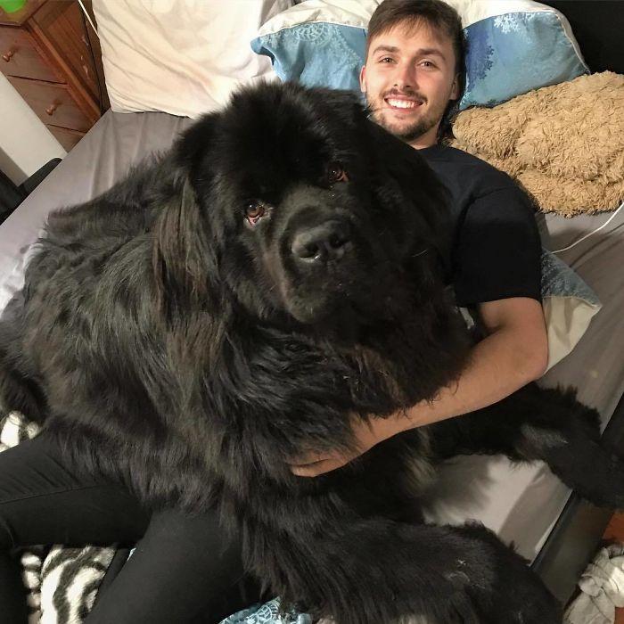 черный ньюфаундленд на коленях у парня
