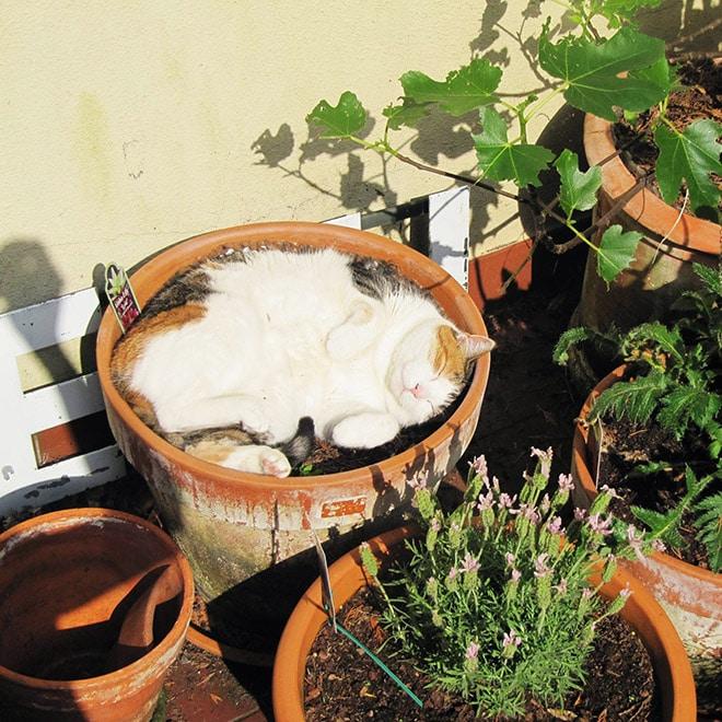 спящий кот в горшке рис 2
