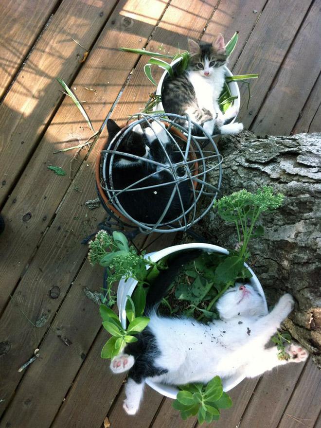 котята в горшках