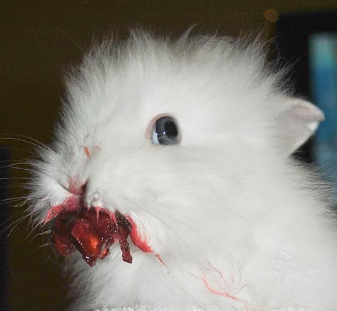 белый кролик запачкался клубникой