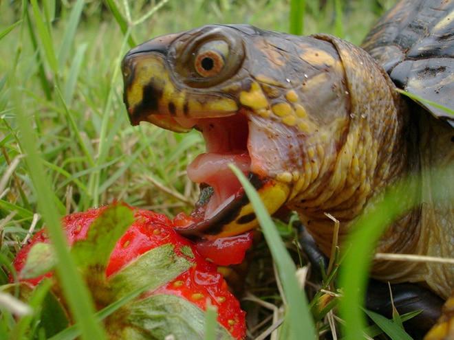 черепаха в траве и клубника