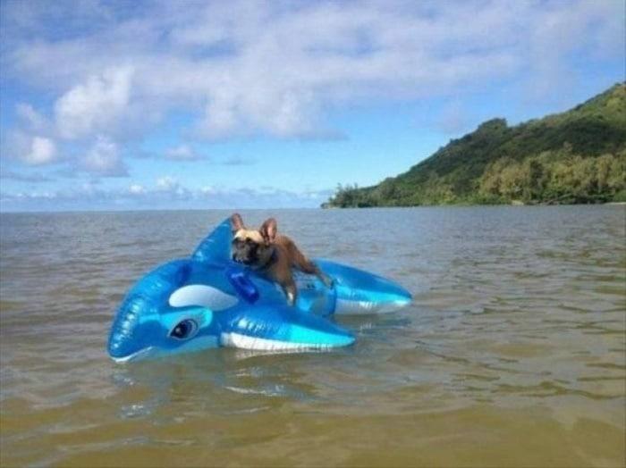 пес на надувной акуле