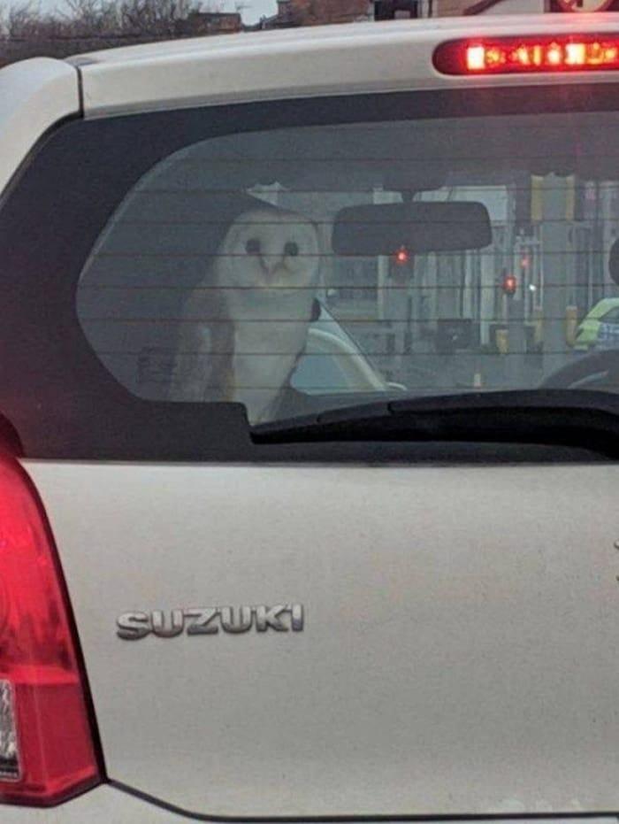 филин в автомобиле