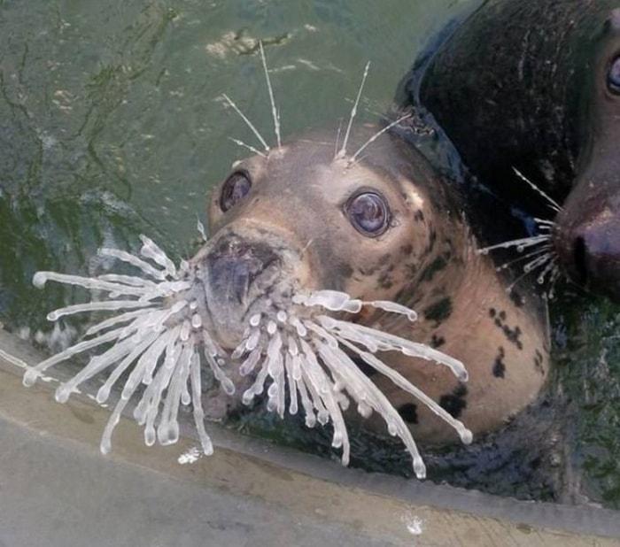 тюлень с замороженными усами