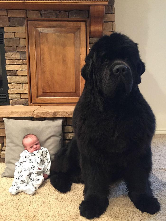 ньюфаундленд и маленький ребенок