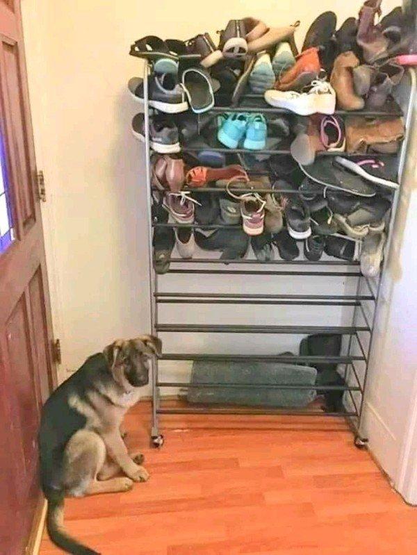 собака сидит рядом с полкой с обувью