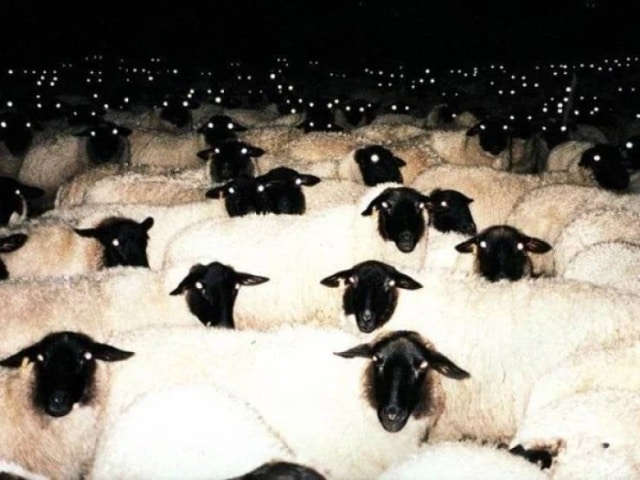 стало овец