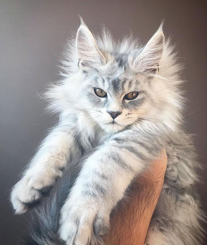 серый котенок породы мейн-кун