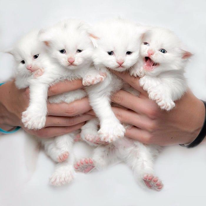 белые котята мейн-куна