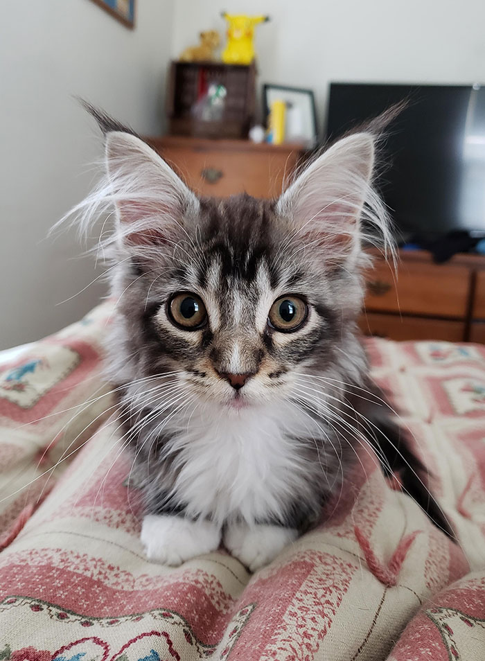 полосатый котенок породы мейн-кун