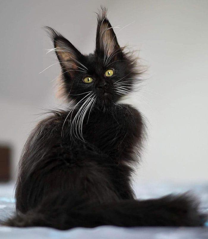 черный котенок мейн-куна