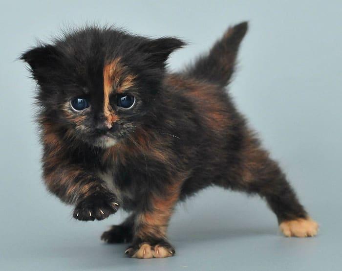 черный котенок мейн-куна рис 2