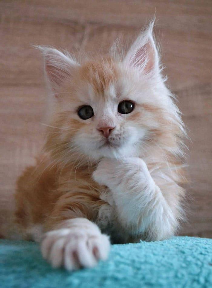 рыжий котенок породы мейн-кун