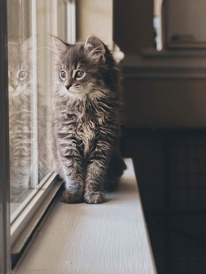 полосатый котенок мейн-куна