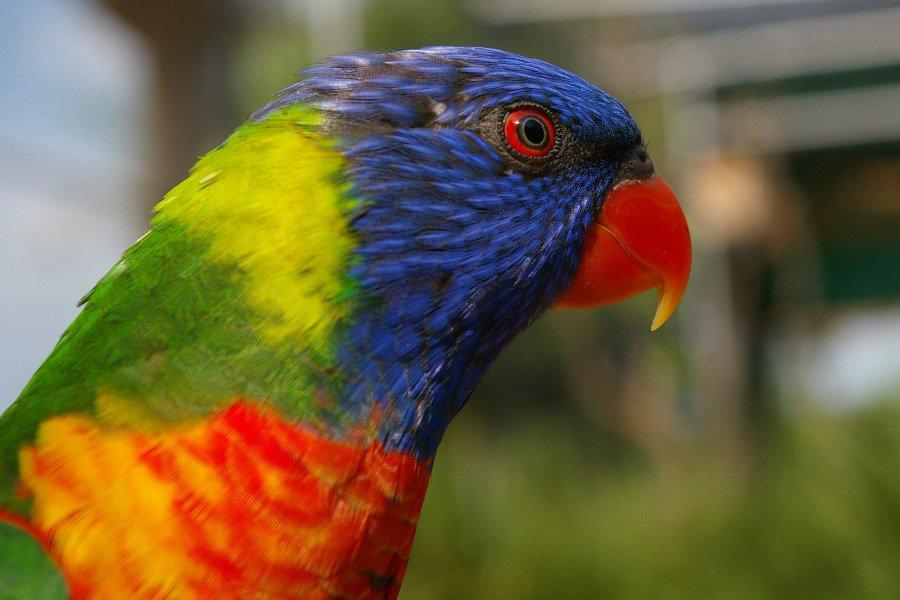 попугай цсоки