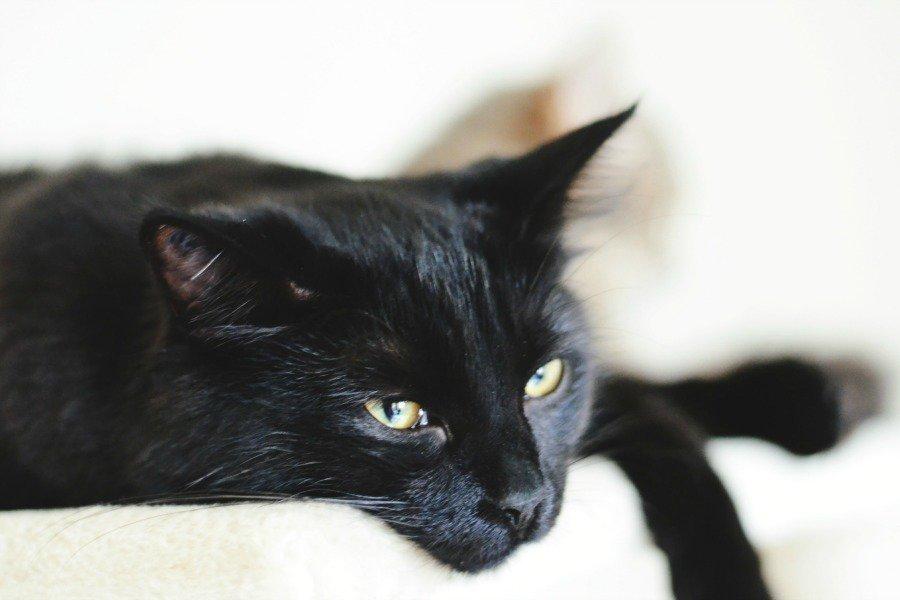 черный кот Томмазино