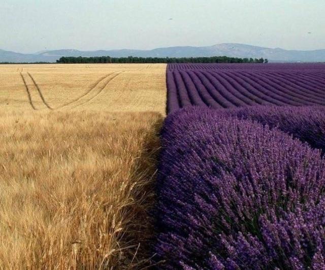 пшенично-лавандовое поле