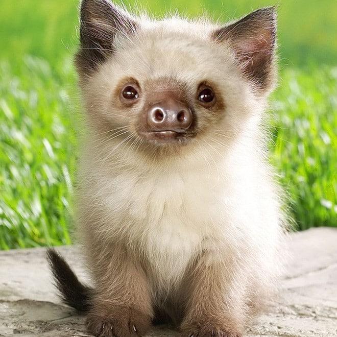 пушистый котенок с мордой ленивца