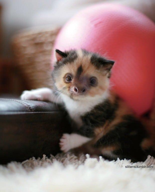 пятнистый котенок с мордой ленивца