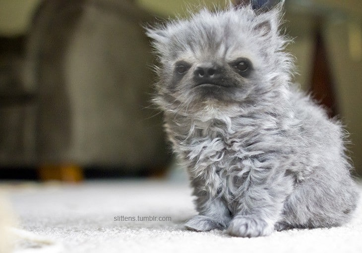 пушистый серый котенок