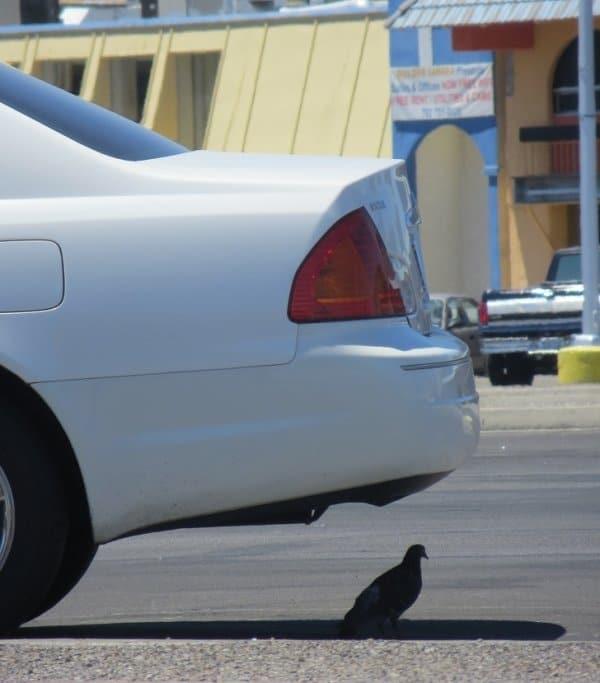 голубь сидит в тени под машиной