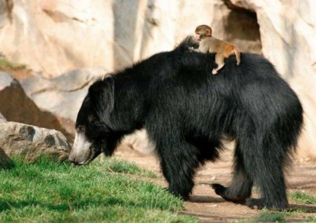 медведь и обезьяна
