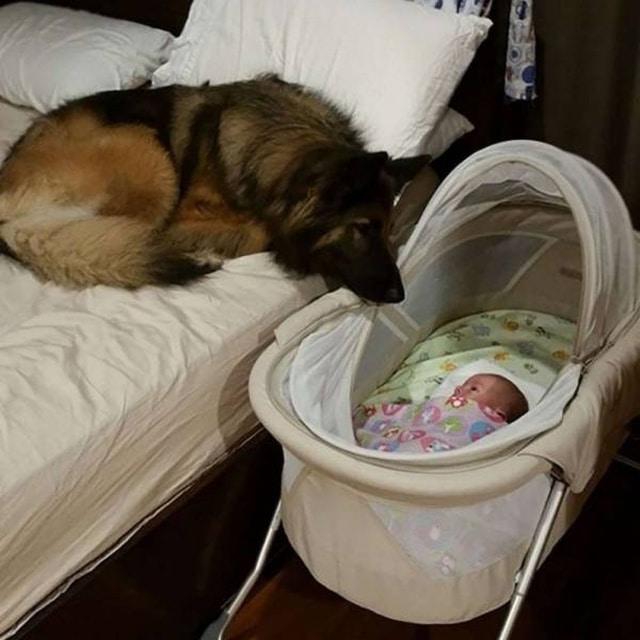 овчарка лежит возле кроватки младенца