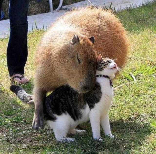 кот и капибара