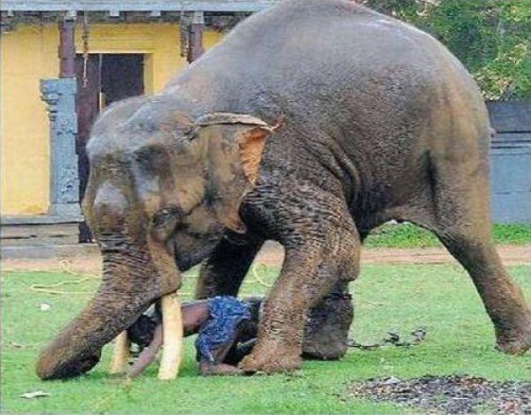 слон топчет человека