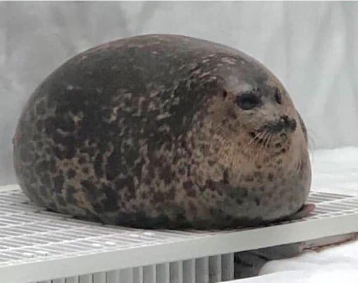 толстый морской котик