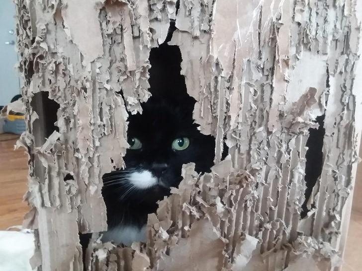 черный кот в разодранной коробке