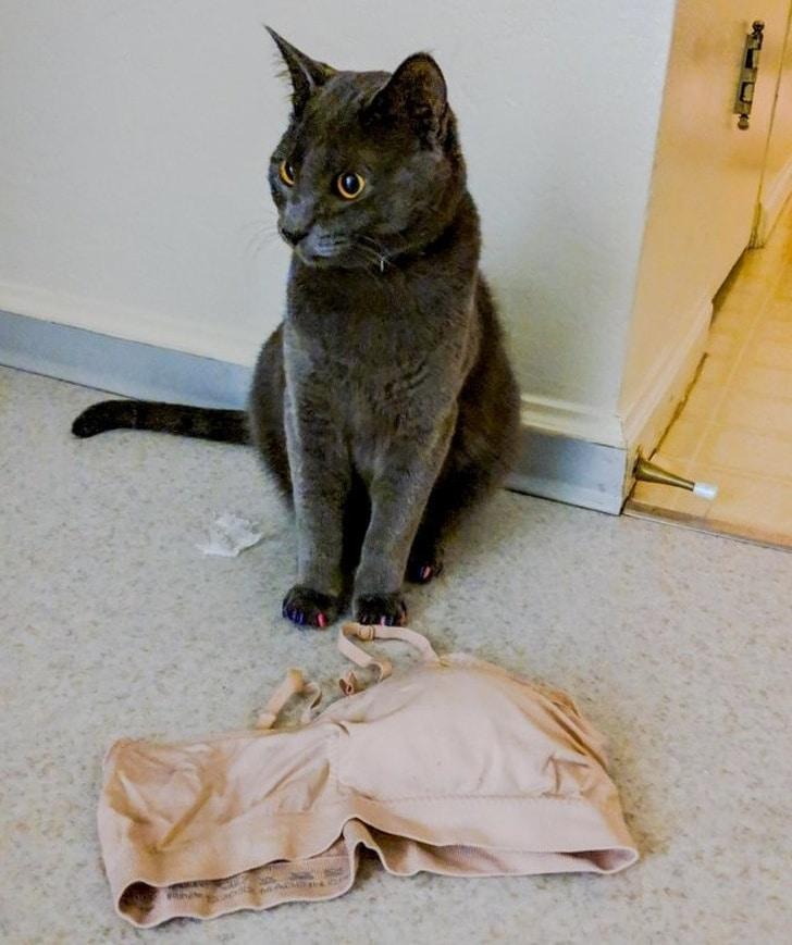 серый кот и лифчик на полу