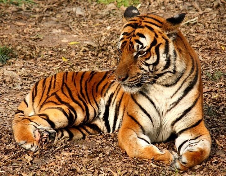 южно-китайский тигр