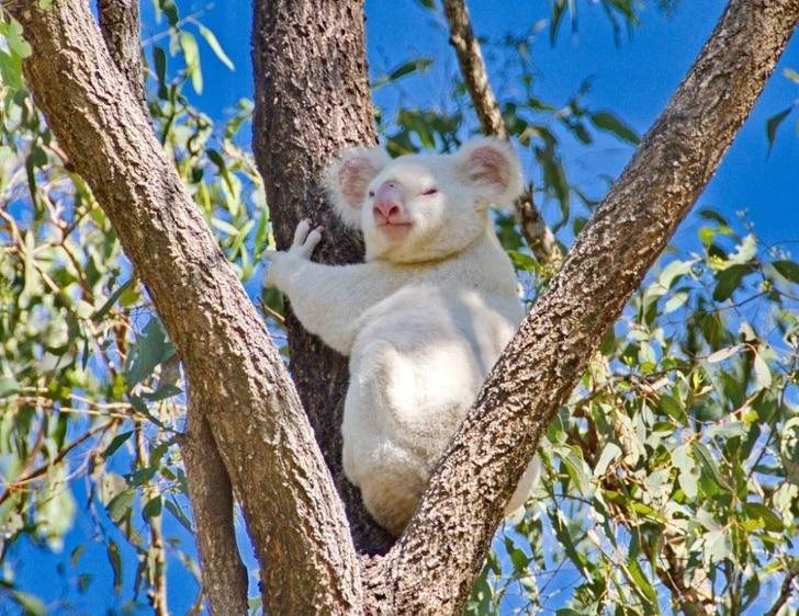 коала альбинос на дереве
