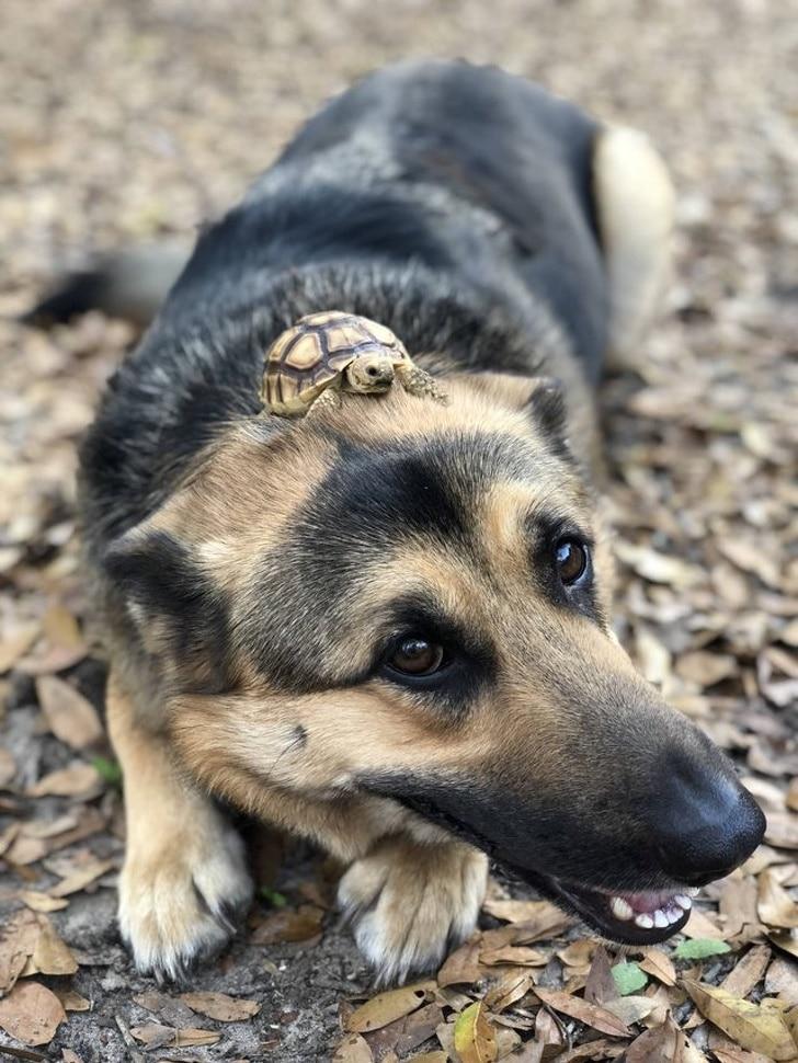 маленькая черепаха сидит на овчарке