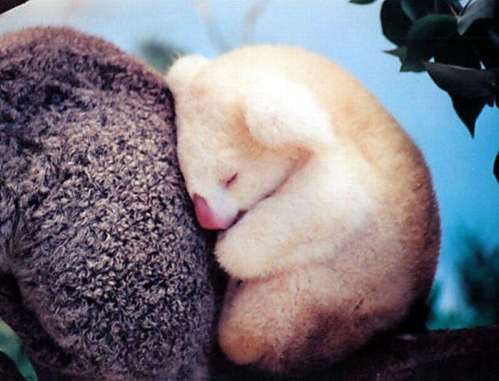 коала альбинос