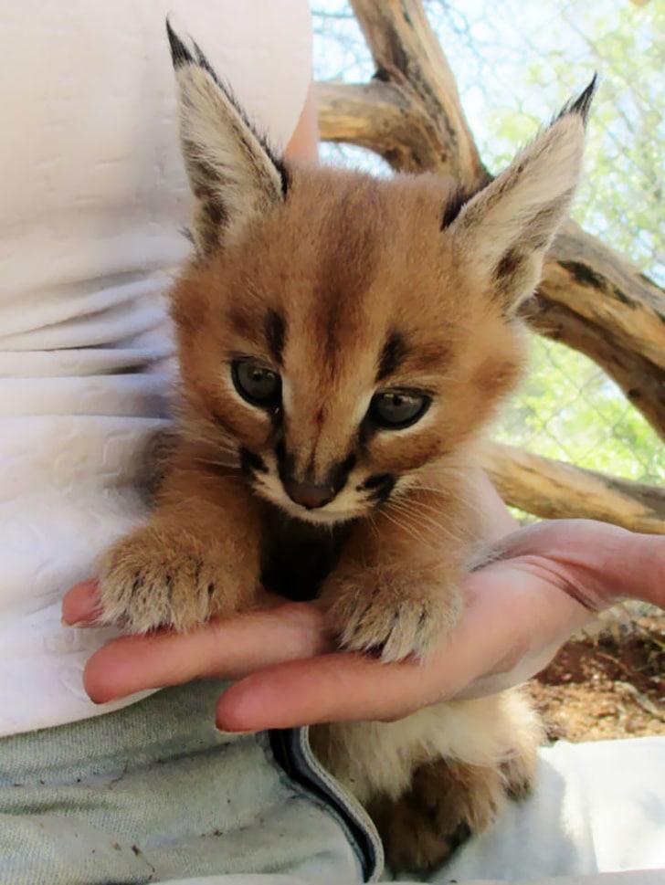 котенок каракала
